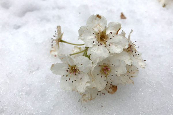 Blooms on ice