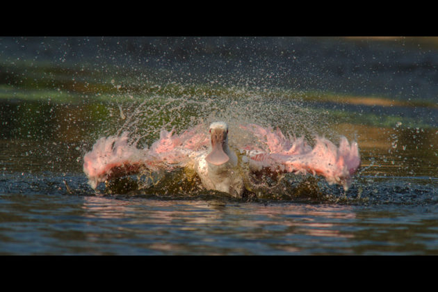 PA photographer Jane Axman-Hyner captures this roseate spoonbill in action