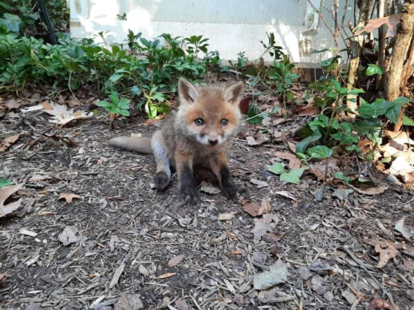 Video: Lost Baby Fox in Arlington Backyard, Before It Was Reunited With Mom